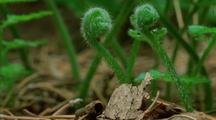 Microlepia Fern, Growing