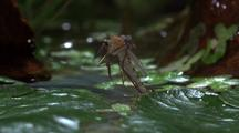 Adult Mosquito Emerges From Water, Hatching