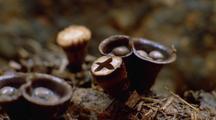 Cup Fungi Opening
