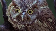 Screech Owl Watching From Branch