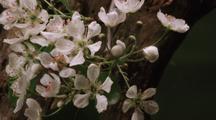 Pear Flowers Blooming