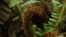 Timelapse Of Fern Unfolding