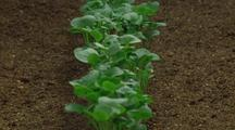 Row Of Radish Plants Emerge And Grow In Field Setting, Zoom Back, Tilt Up