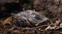 Mouse Decomposes With Maggots