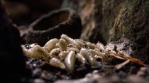 Greenbottle Fly Maggots Disperse