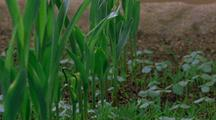 Corn Plants And Weeds Emerge And Grow In Field Setting