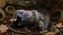 Mouse Decomposes With Fly Maggots