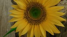 Close Up Sunflower Opens