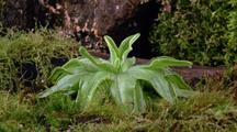 Long Shot Butterwort Plant