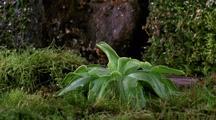 Long Shot Butterwort Plant Blooms