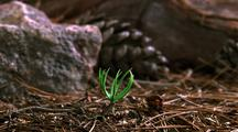 Tree Seedling Emerges From Forest Floor