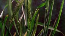 Wheat Fruiting (Two Stalks Fruit)