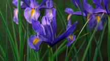 Iris Flower Opens, Pan Up With Bud
