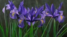 Iris Flowers Open In Group