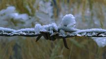 Frost Forms On Barbed-Wire Fence, Wild Oats In Back