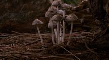 Snow Melts, Coprinus Mushrooms Grow In Group