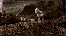 Snow Melts, Coprinus Mushrooms Grow & Die, 2nd Group Grows & Dies