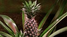Long Shot Pineapple Continues To Grow