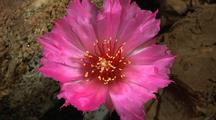 Cactus Flower (Magenta) Opens #1