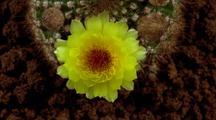 Cactus Flower (Yellow) Opens