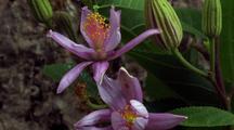Lavender Star Flower Bud Opens, 3rd Flower
