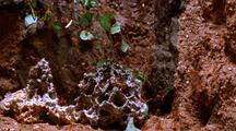Leafcutter Ants Constructing Fungus Garden In Nest