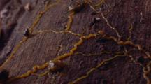 Physarum Veins On Surface Of Log, Close Up