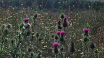 Long Shot Field Of Thistles