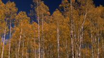 Yellow Aspen Trees
