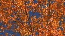 Orange Leaves On Tree