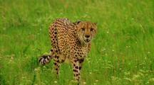 Cheetah Walks Through Grass