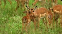Baby Impala, Antelope