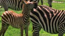Zebra Calf