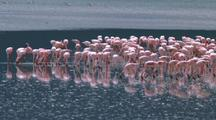 Flock Of Flamingos Wades Across Lake