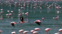 Flamingos Fly Above Flock