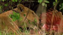 Lion Feeds On Kill