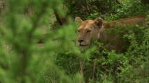 Lion Moves Through Grass, Scrub