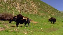 Yaks With Loads