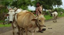 Man Herds Cows On Country Road
