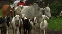 Man Herds Cows And Goats On Country Road