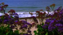 Statice Flowers Grow Above Coast