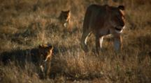Female Lions And Cubs Walk Together On Savanna