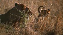 Lionesses Lie In Grass, Care For Cubs