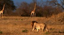 Male Lion Walks Along The Savannah, Two Giraffes In Background
