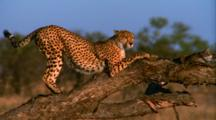 Cheetah Climbs Up Tree On The Savannah, Rests On Front Legs