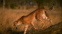 Cheetah Walks Down From Tree And Runs Through Grass