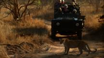 Leopard Walks In Front Of Safari Jeep On Dirt Road