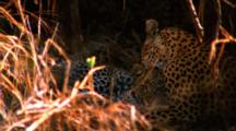 Mother Leopard Cleans Cub In Cave Like Den