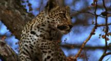 Tilt Up From Tree Bark To Leopard Sitting In Tree, Staring Off To Side