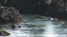 Elephant Seals Play In Shallows, Big Sur, California